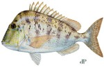 Knobbed Porgy